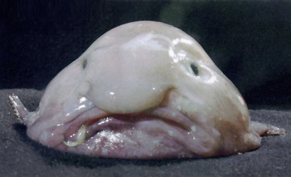 blobfish1