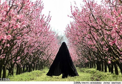 spring-blossoms-golestan-orchards1